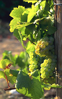 Champagne_grapes