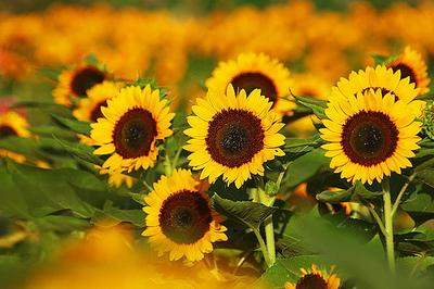Sunflower1_1